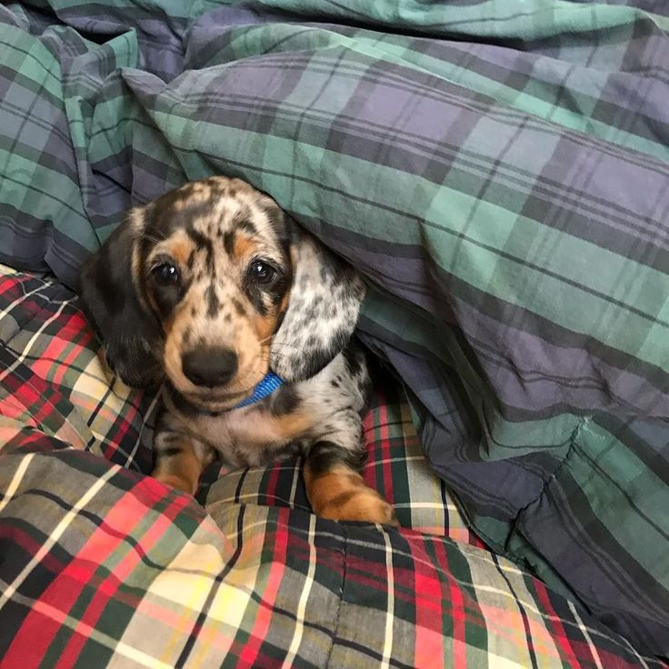 Beautiful spotted Dachsund puppy (Patches) all snug and cozy in plaid and tartan quilts - Pinecones & Acorns. #plaidbedding #plaiddecor #dachsunds #puppies #madforplaid